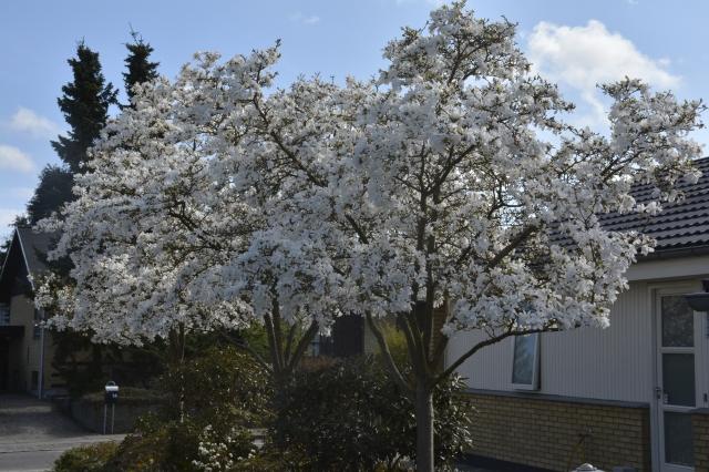 Magnolia x loebneri 'Merrill' i vores indkørsel. De 3 træer er ca. 5 m høje. Billedet er fra den 24. april 2015. Allerede den 6 april var træerne sprunget ud. I mildt vejr dufter de om aftenen.