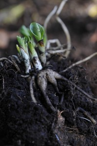 Dactylorhiza rødder den 4.8. De grønne skud, med tilhørende bulber, er næste års planter og blomster. Den gamle bulbe sidder inde i midten. Den har ingen værdi mere.