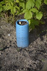 aspargestoppen er kommet op gennem røret på 3-4 dage
