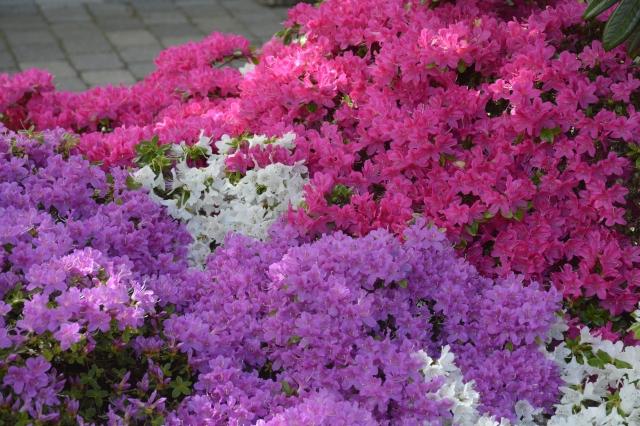 En stor gruppe japanske azalea er vokset sammen. Jeg klipper lidt i kanterne af den violette og rosa, så den hvide kan blive ved med at lyse op til begge sider og i midten. Gruppen er over 2 m lang. Til klipning af de japanske Azalea, anvender jeg for det meste en lille elektrisk håndklipper. Planterne bliver meget tætte af denne form for beskæring. Det er vigtigt at klippe STRAKS efter afblomstrig, så nyvæksetn kan nå at danne blomsterknopper til næste år.