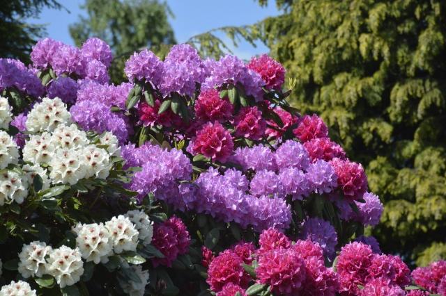 De 3 sammenvoksede buske er 4 meter høje, og udgør et fantastisk skue i juni.
