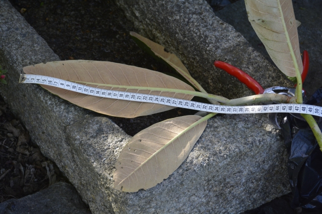 R. rex er en af helt store Rhododendron vi kan have i vores klima. Med tiden udvikler den sig til et lille træ. Det lange nye skud, som blev klippet af slut i maj, skyggede for meget over forgrundsplanterne.