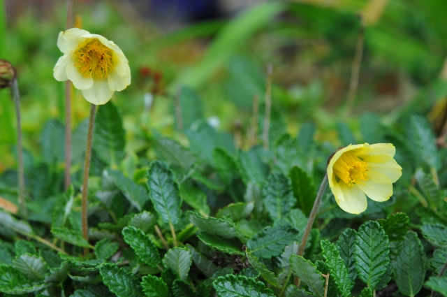 Dryas drummondii har cremegule blomster på 10 cm høje stilke i juni. Denne plante har haft 30 års jubilæum i haven.