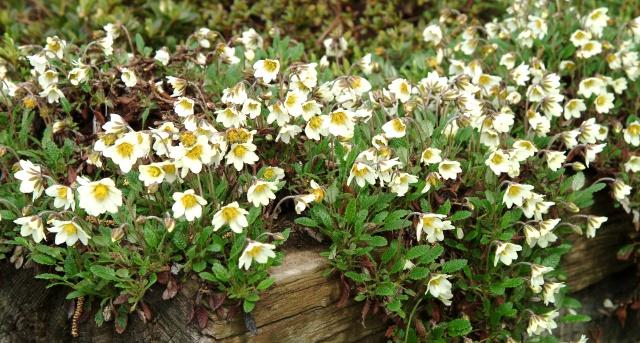 Dryas suendermanii i forkanten af hævet surbundsbed i maj/juni. Blomsterstilkene er 10-15 cm høje. Lidt blomstring i aug./sept. forkommer.