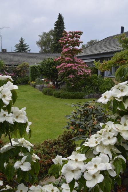 Cornus kousa 'Teutonia' i forgrunden og Cornus kousa 'Miss Satomi', begge i fuld flor den 6.6.2015.