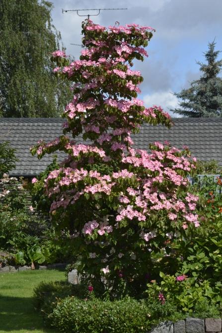 Cornus kousa 'Satomi'. Den samme plante mere end en måned senere - den 20.7.2015