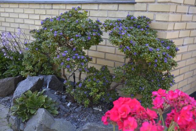 Et spændende minitræ har denne kraftigt beskårne R. 'Songbird' udviklet sig til i løbet af 4 år. Nu i august blomstrer den for 2. gang i år. Ved foden er en tidlig Cyclamen ved at springe ud.