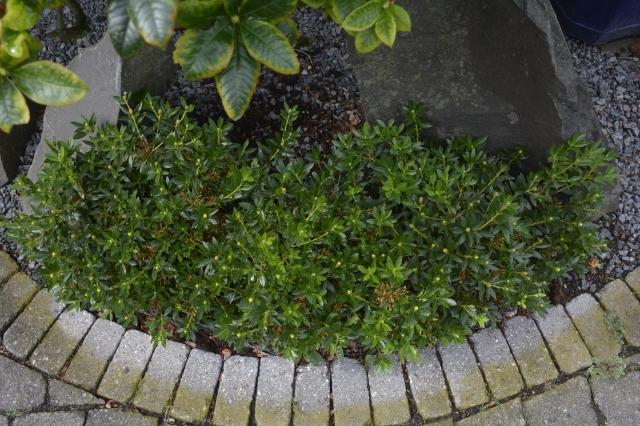 """De lille """"hæk"""" blev plantet primo maj 2015. Billedet er fra d. 27. aug. 2015. De 3 planter er allerede vokset sammen til en enhed."""