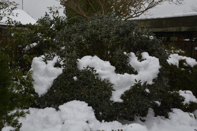 Den kæmpestore R. yakushimanum 'Edelweiss' gav op under snestormens hvirvelvind og vægten af 25 cm tøsne.