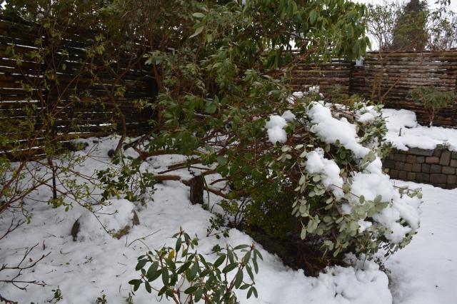 """Den """"seje"""" R. callimorphum blev plantet i 1999. """"Sej """"grundet sine smukke blade og blomster. """"Sejt"""" at den kunne knække sammen under snetrykket, og rejse sig fuldt igen."""
