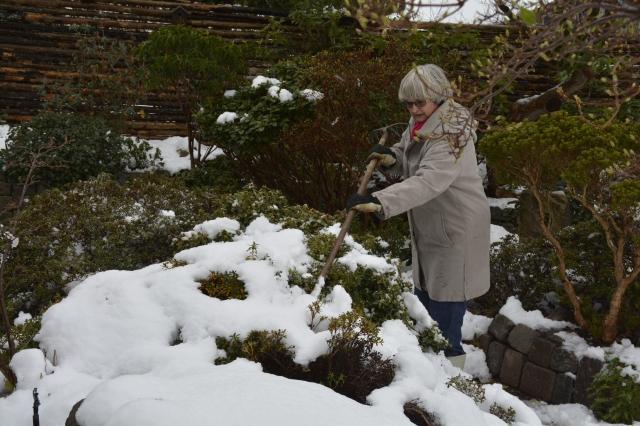 Den tunge tøsne løsnes forsigt med et kostekaft eller lign. Hvis sneen får lov til at tynge grenene ned, kan de risikere at flække fra stammen.