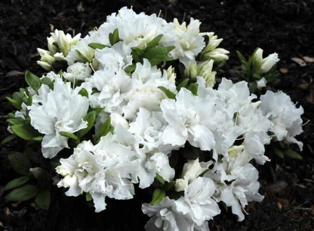 R. 'Feenkissen', syn. R. 'Fritzi' er en ret storblomstret renhvid næsten fyldt plante meget velegnet som bunddække.