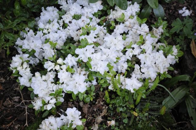 R. 'Feenkissen' (R.'Fritzi'). Den hjembragte plante blev plantet i skygge. østvendt, og efterhånden delvist overgroet af høje R. til siderne.