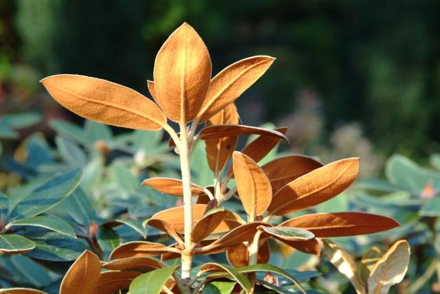 R. 'Hansel' Krydset har i bemærkelsesværdig grad bibeholdt det smukke brune indument som pryder bureavii's bladbagsider.