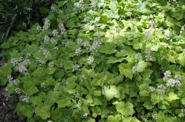 Tiarella cordifolia er en perfekt næsten stedsegrøn bunddække på skyggede steder i surbundsbedet.