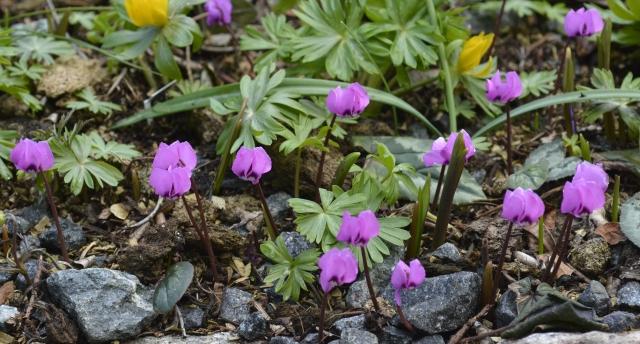 Cyclamen alpinum i marts. Den ligner meget C. coum, men er mindre, og blomstrer 2-3 uger tidligere.