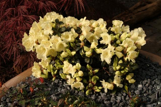 R.'Wren' i et stort plantekar. Der vokser desuden Cyclamen, Soldanella og Haberlea. Plantemediet er grov spagnum tilsat granitgrus. Karret står med formiddagssol.