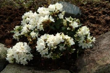 R. keiskei 'June Bee' har tydelige egenskaber fra de kompakte planter fra cordifolia-gruppen.