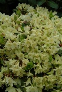 R. 'Shamrock' i fuld flor allerede i midten af april.