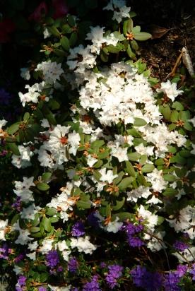 R. 'Keisrac' med hvide blomster i forkanten af større bed.