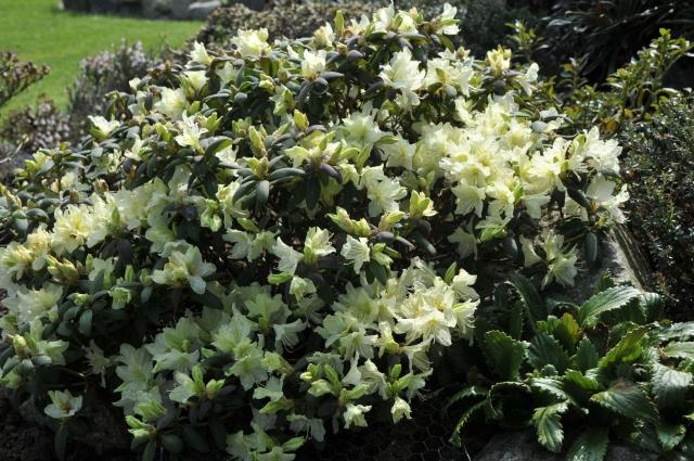 R. keiskei 'Ebino' er en af de bedste kloner af R. keiskei. Lav og tæt vækst med rødlig tilvækst. Blomstrer i april.