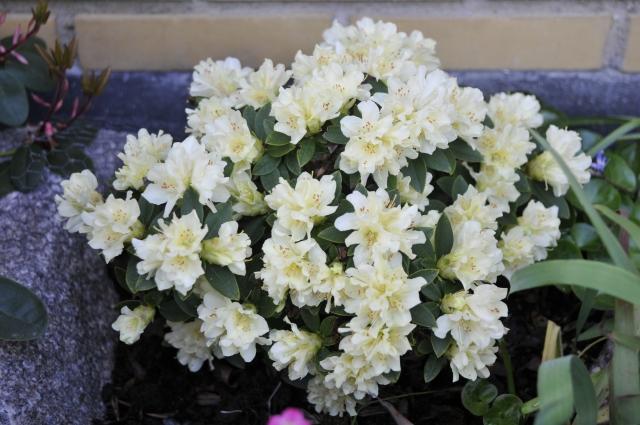 I 2006 fik vi R. keiskei 'Patty Bee'. Den er plantet op mod husets sorte sokkel på østsiden, i sol fra tidlig morgen til kl. ca 13. Efter 10 år er den 20 cm høj og 40 cm bred.