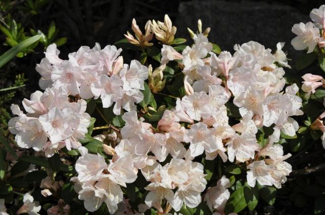 R. keiskei 'Southland' med sine ret store klokkeformede blomster.