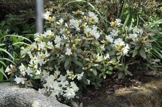 R. keiskei 'Crane' har siden 2003 vokset i forkanten af et kombineret skovbunds og stenbed.