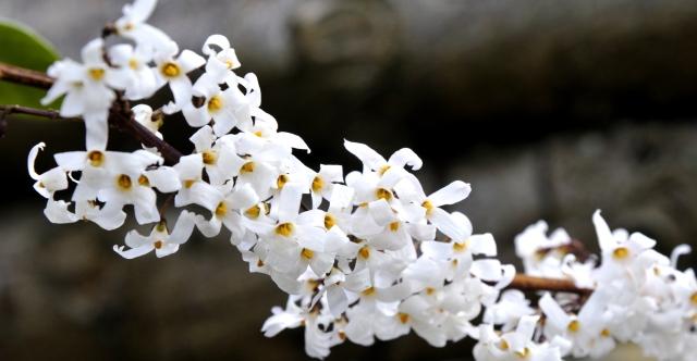 Abeliophyllum distichum har været i blomst nogle dage. Den dufter herligt.