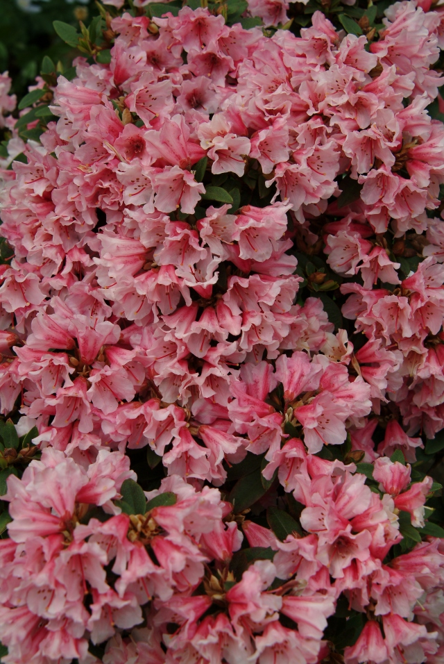 R. keiskei 'Wee Bee' med sit utrolige blomsterflor. Planten blev plantet på kanten af et østvendt stenbed i 1991. Der er sol til kl. 13.