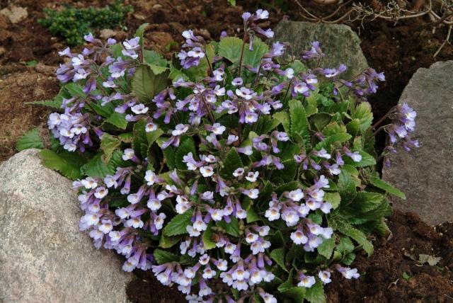 Haberlea rhodopensis som vokser Bulgarien er den ene af de 2 Haberlea med blå blomster.