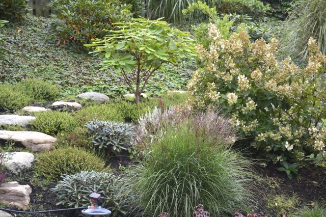 """Stærkt skrånende rhododendronhave med indplantede """"græsser"""", lyng, Hydrangea - bunddække Waldsteinea ternata"""