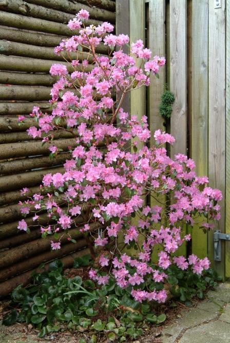 R. 'Praecox' her plantet ved vores skraldespand og carport op mod et hegn mod naboen og gårdhaven.