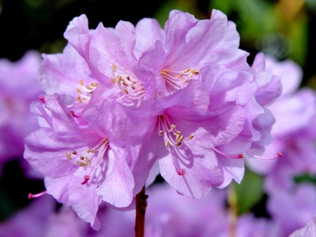 R. 'Praecox'. Foto fra den 4.4. som er det gennemsnitlige tidspunkt for blomstringen.