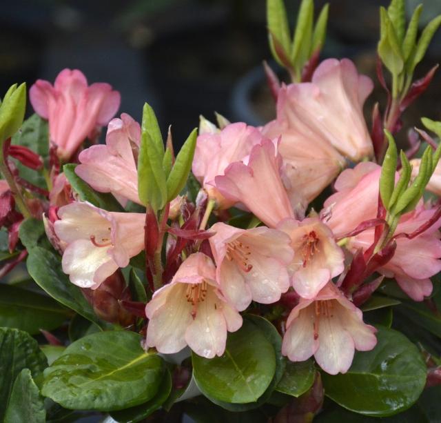 R. williamsianum 'Lisa Hage' med begyndende tilvækst i sin 3. blomstringsuge.