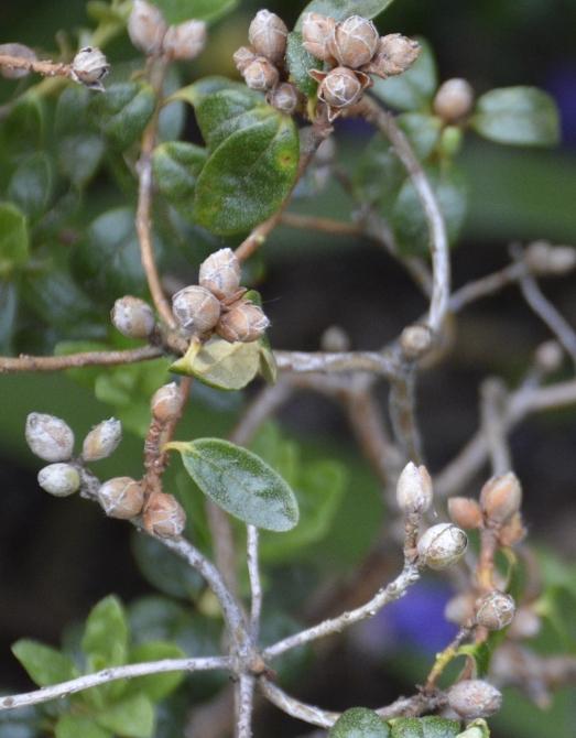 Dværgrhododendron med visne knopper på halvdød gren, som er vinterskadet. Klip alle de visne dele af indtil skadestedet, eller hvor frisk ny vækst ses.