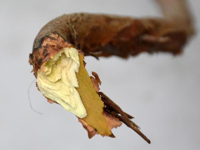 Rhododendrongren som grunder snetrykket har været delvist afrevet. Billedt er fra den 23.5.16, hvor begyndende tilvækst og knopper på grenen pludselig visnede.