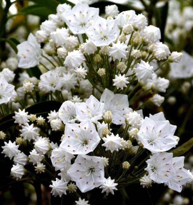 Kalmia 'Snowdrift' er en høj slank busk i haven. Den er dækket fra to til tå med helt renhvide blomster. foto 09.06.2016