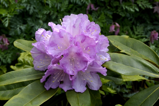 % årig frøplante som viste sine smukke blomster for første gang.