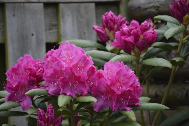 AT HAVE EN HAVE | af Niels Skjøldberg, specialist i Rhododendron | Side 2
