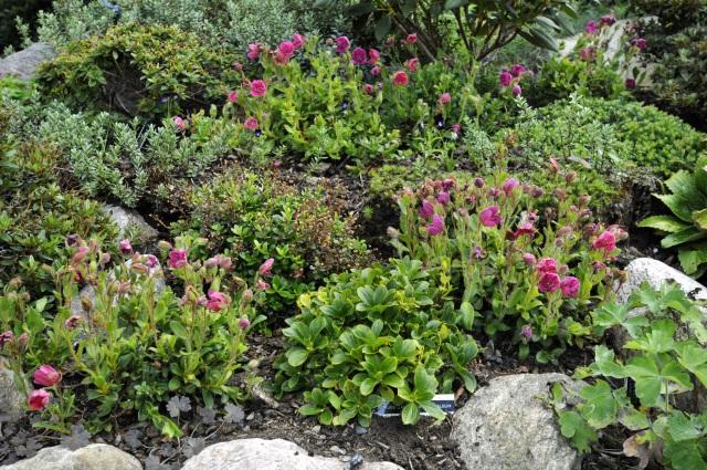 Frøplanter af R. camtschaticum 'Red Form' i et alpint surbundsbed. Den ene plante har leveret frø til de øvrige. Frøene blev spredt rundt i den grove spagnum,. De voksede hurtigt til - her 3 år efter.