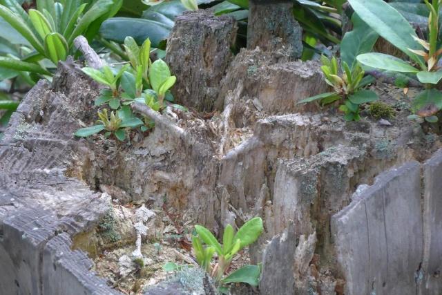 Et gammel træstød kan være en flot dekoration i surbundsbedet. Det indbyder også til frøplanter.