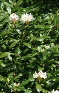stort busket med Cunningham's White. Desværre ingen blomster, da alle knopperne er gået til i løbet af vinteren. Knopperne dør, fordi de er ved at springe ud om efteråret, men ikke når at åbne andet end et knopkæl. Blot den allermindste åbning betyder svamp og udtørring af knoppen i løbet af vinteren.