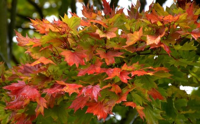 Acer shirawasanum 'Aureum'