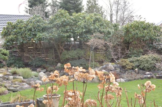 De visne hortensiablomster står som en skarp kontrast til det store Rhododendronbed i baggrunden.