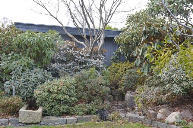 Ud for vores stuevinduer har vi dette dejlige motiv. Her er Rhododendron vildarter og hybrider mellem hverandre. Det er med til den store variation i løvfarver og størrelse.