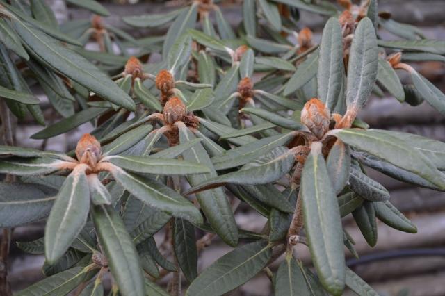 R. russotinctum har som så mange andre arter dejligt løv og dekorative knopper