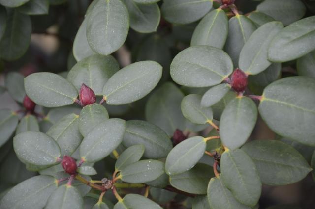 R. williamsianum 'Bow Bells' står med flotte røde blomsterknopper hele vinteren. Det gælder også williamsianum 'Tibet' og naturligvis vildarten.