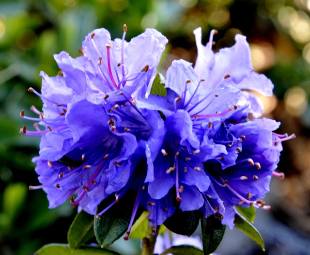 russatum x Blue Tit Group, Sir James Horlick 1954.tæt kompakt busk med skønne blåviolette blomster i meget store mængder. Planten udvikler sig på 25 år til en tæt busk på 80 cm højde og 100 cm i bredden. Typisk blomstrer den lidt igen i sept.