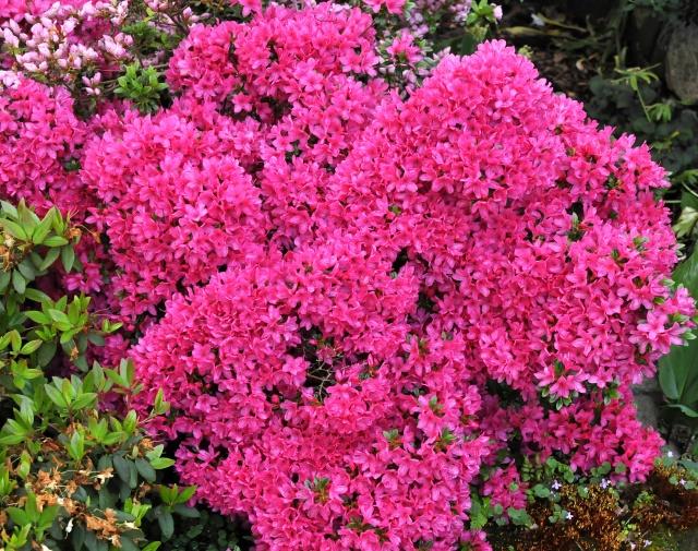 R. 'Sophie Scholl'. Vores plante fra 1992. Billedet er fra 29.5.15.